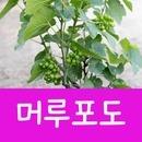 소울라인 머루포도나무 머루포도묘목 공기정화식물