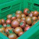자연속애/쥬스용 토마토 10kg /산지직송/못난이 쥬스용