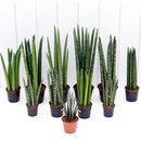아침향기 공기정화식물 스투키 1+1 이벤트
